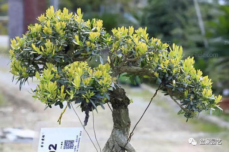 图解 雀舌黄杨盆景的修剪造型过程