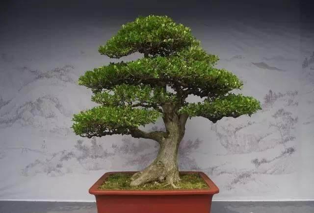黄杨盆景截干后 要多久发芽?