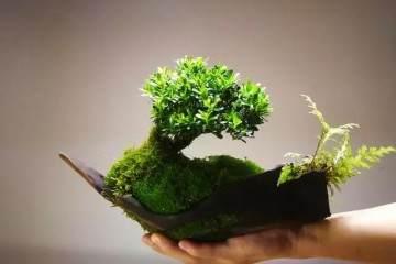 实用篇——黄杨盆景的日常管理养护