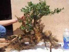 怎么养护黄杨下山桩 7个制作方法 图片