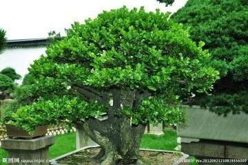 黄杨盆景在夏季移栽用什么生根粉最好