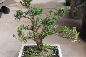 小叶黄杨盆景怎么制作方法和发芽养护
