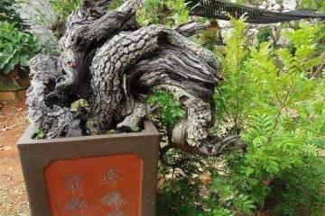 一盆创作周期长达16年的古桩蜡梅盆景