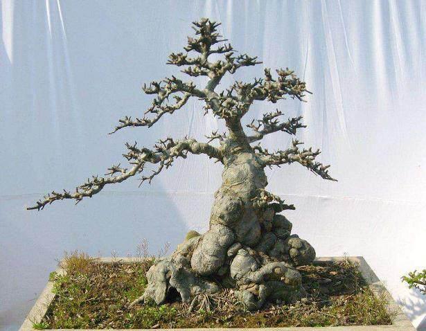 铝丝不拆 拆丝季节不适宜对盆景枝干的伤害
