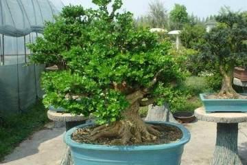 盆景迷张大伯想给G20献份礼 枯树根在他手里成了杭州美景