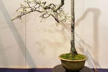 盆景设计需要根据树桩的生长特点下手