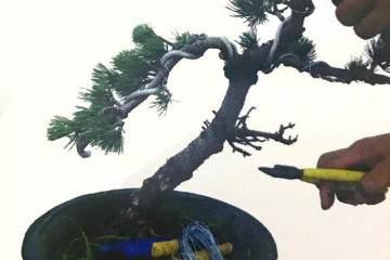 图解:大阪五针松盆景的制作过程 35幅
