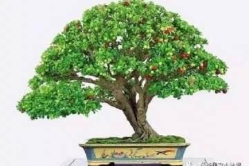 自然类树桩盆景是现代盆景树桩的主要形式