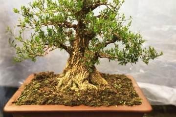 黄杨盆景的造型拿弯技巧