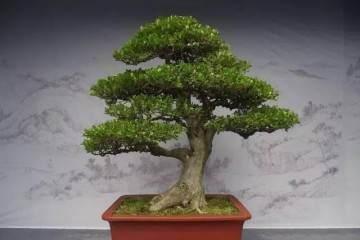 黄杨盆景想生根怎么促芽萌芽的技术
