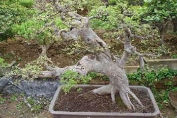 秋季雀舌黄杨老桩盆景怎样养坯与移栽上盆