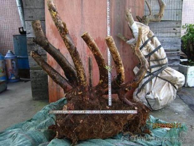 映山红下山桩在秋季养护及用土保湿方法