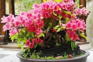 映山红盆景在花期后怎么修枝