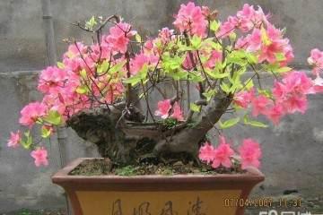 映山红盆景在春季发芽后 怎么养护 图片