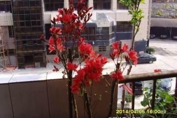 映山红盆景的4个栽培要点