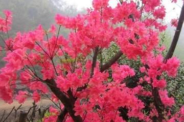 映山红盆景可以放家里收获爱情