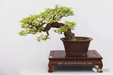 雀梅盆景怎么发芽 浇水与修剪的方法
