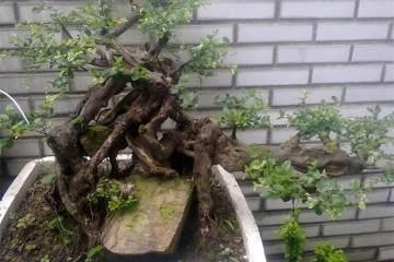 雀梅盆景怎么发芽 用肥料与浇水方法