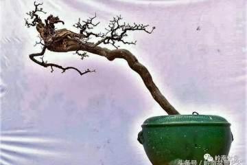 雀梅盆景浇水的时候 水温不能跟盆土相差太大