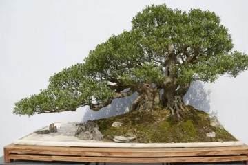 用岭南派盆景造型方法 来制作雀梅盆景