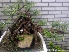 怎么采挖雀梅下山桩 发芽养护方法 图片
