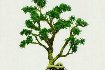 小叶赤楠盆景好不好养?满足这一个条件 就行