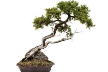赤楠树桩盆景怎样萌芽修剪 图片