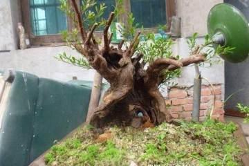 赤楠盆景造型的3个步骤 修整与摘心