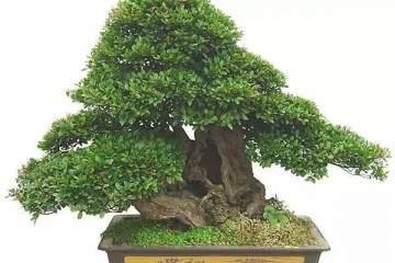 赤楠老桩盆景怎样取材与上盆过程
