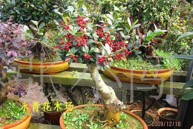 赤楠盆景叶子发黄是怎么回事?4个原因形成