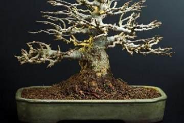 养护赤楠盆景的5个方法 图片