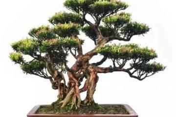 制作赤楠盆景的4个注意事项