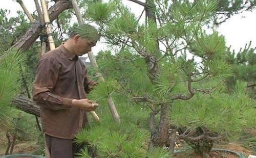 黑松剪枝切芽摘叶的方法1