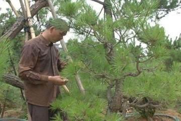 图解 黑松盆景的修剪全过程 3幅