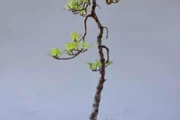 看赵庆泉是如何制作文人树黑松盆景的?