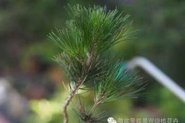图解 黑松盆景叶子短细密的方法 9幅