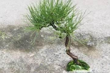 图解 为什么修剪黑松盆景针叶子 不能直接剪短?