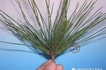 图解 黑松盆景的切芽短叶法 9幅