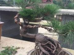 黑松下山桩的养殖方法和6个注意事项 图片