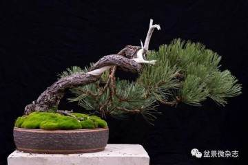 如何种植黑松盆景才能让它的观赏性更高?