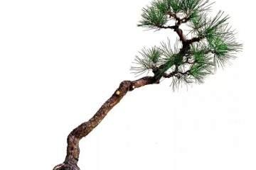 图解 黑松文人树盆景的制作过程 12幅