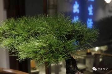 黑松盆景在日本盆景界具有极高地位