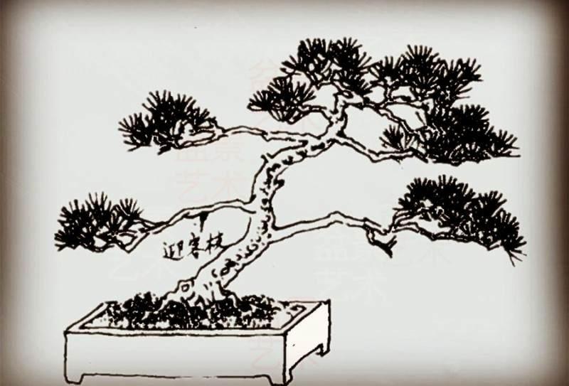 业余盆友优化黑松盆景的造型