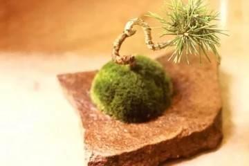图解 如何在苔藓上制作黑松盆景的7个步骤