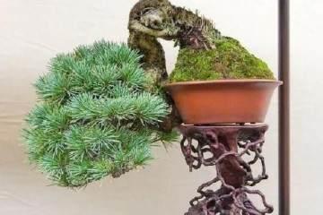 松树盆景怎么发芽修剪 保形的方法 图片