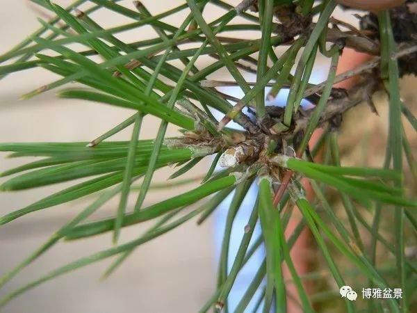 黑松次生芽在盆景制作中的作用