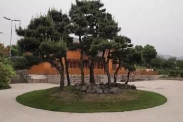 关于黑松地景盆景树的市场价值