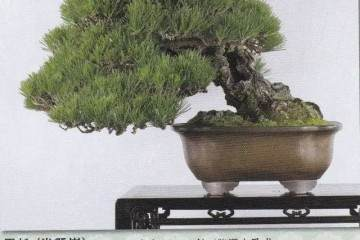 图解 日本黑松盆景的魅力 9幅