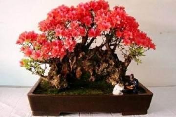 怎么养护杜鹃花盆景?