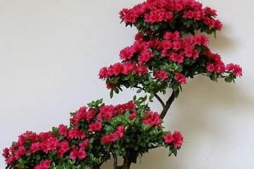 杜鹃花盆景在夏季为什么枯萎?